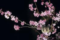 カンヒザクラの蜜を吸うダイトウオオコウモリのメス