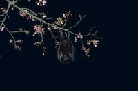 カンヒザクラに来たオリイオオコウモリ