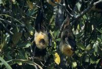 冬に日光浴するダイトウオオコウモリのオス
