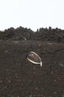 ヒマワリの根の成長 A-�A