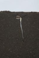 ヒマワリの根の成長 A-�C