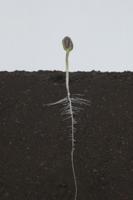 ヒマワリの根の成長 A-�E