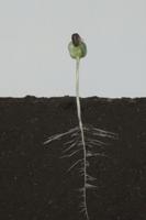 ヒマワリの根の成長 A-�F