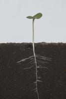 ヒマワリの根の成長 A-�G