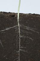ヒマワリの根の成長 A-�H