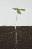 ヒマワリの根の成長 A-�I