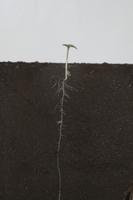 ヒマワリの根の成長 B-�J
