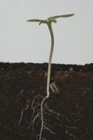 ヒマワリの根の成長 B-�L