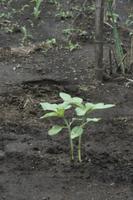 ヒマワリの成長 草姿