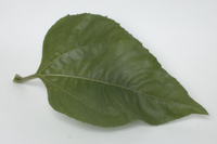 ヒマワリの成長 葉