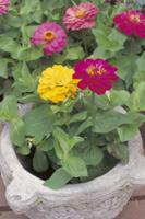ポット植えのジニア(ヒャクニチソウ)の花