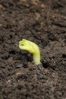 ソラマメ 芽の発芽