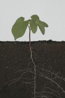アサガオの根成長 32153000915| 写真素材・ストックフォト・画像・イラスト素材|アマナイメージズ