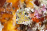 シマウミスズメ 幼魚 32154001202  写真素材・ストックフォト・画像・イラスト素材 アマナイメージズ
