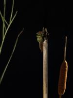 ギンヤンマ 羽化2 32155000092| 写真素材・ストックフォト・画像・イラスト素材|アマナイメージズ