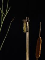 ギンヤンマ 羽化3 32155000093| 写真素材・ストックフォト・画像・イラスト素材|アマナイメージズ