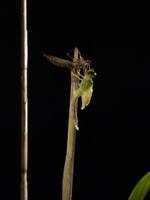 ギンヤンマ 羽化6 32155000096| 写真素材・ストックフォト・画像・イラスト素材|アマナイメージズ