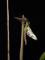 ギンヤンマ 羽化7 32155000097| 写真素材・ストックフォト・画像・イラスト素材|アマナイメージズ