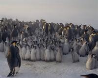 コウテイペンギン 雛のクレイシ(集団保育所)