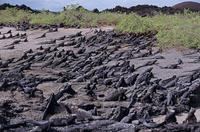 日光で体を温めるため同方向を向くガラパゴスウミイグアナの群れ