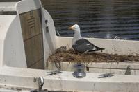モンタレー湾に浮かぶヨットの甲板で営巣するカモメ