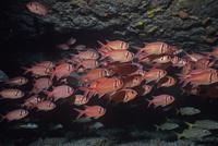海底の岩穴に群れるサヤマツカサ