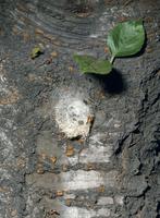 ジョロウグモ 出嚢間近の卵嚢