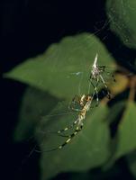ジョロウグモの交接