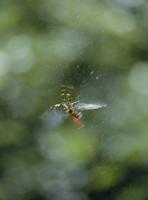 ジョロウグモ 獲物のとり方 6-2