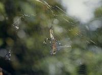 ジョロウグモ 獲物のとり方