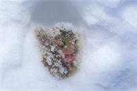 雪中冬眠するヤマネ