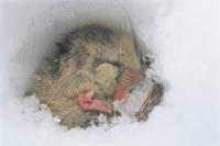 雪中冬眠するヤマネ 32160000023| 写真素材・ストックフォト・画像・イラスト素材|アマナイメージズ