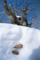 雪中冬眠する2匹のヤマネ