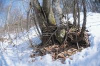 木の根元の枯葉の中で冬眠する2匹のヤマネ