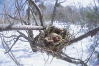 小鳥の巣で冬眠するヤマネ