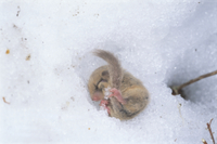 雪中冬眠から目覚め始めるヤマネ