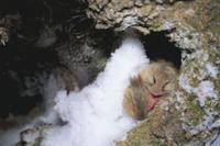 樹の穴入口で冬眠するヤマネ
