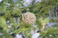 ヤマネ木の上で冬眠