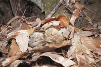 枯葉の下で冬眠する2匹のヤマネ