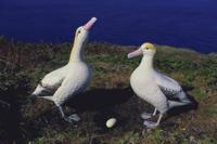 アホウドリのデコイと模型の卵