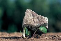 石を持ち上げて芽生えるダイズ