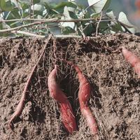 サツマイモの生長:地中断面 4 32165000072| 写真素材・ストックフォト・画像・イラスト素材|アマナイメージズ