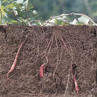 サツマイモの生長:地中断面 3