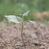 アズキの芽生え C-9 :本葉