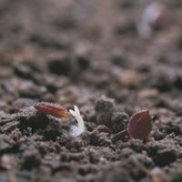 カタバミの芽生え