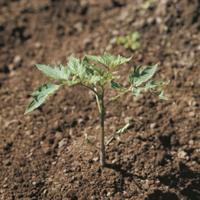 トマトの芽生え  A-7 :本葉を伸ばす