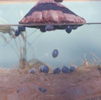 水中に落下するハスの実 (半水面)