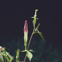 アサガオの開花近いつぼみ