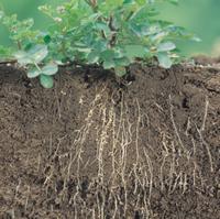 ゲンゲ(レンゲソウ)の根(根粒菌):地中断面 32165000216| 写真素材・ストックフォト・画像・イラスト素材|アマナイメージズ