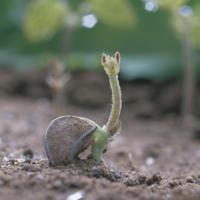 ヌスビトハギの芽生え